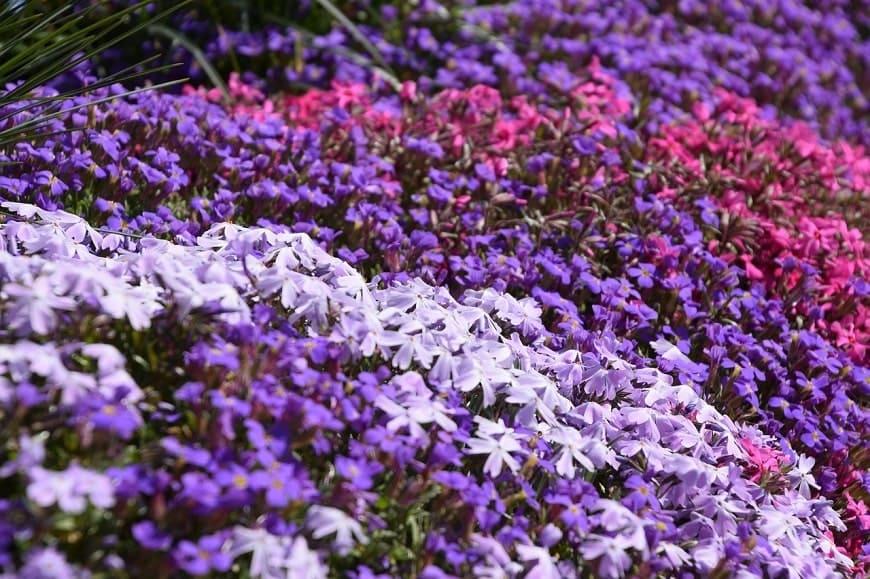 Do Spycimierza na święto kwiatów
